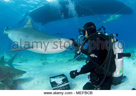 Haifütterung, Taucher und Tigerhai (Galeocerdo cuvier), Bahamas | Shark feeding, scuba diver and Tiger shark (Galeocerdo cuvier), Bahamas - Stock Photo