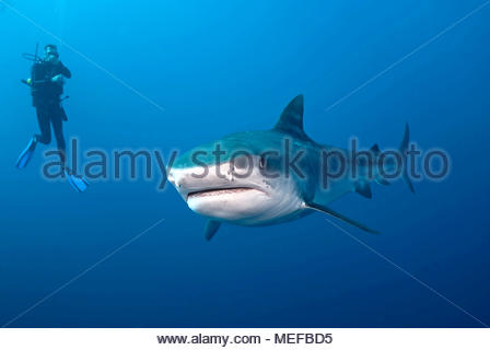 Taucher und Tigerhai (Galeocerdo cuvier), Bahama Banks, Bahamas | Scuba diver and Tiger shark (Galeocerdo cuvier) Bahama Banks, Bahamas - Stock Photo