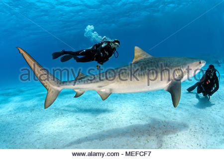 Taucher und Tigerhai (Galeocerdo cuvier), Bahamas | Scuba diver and Tiger shark (Galeocerdo cuvier), Bahama Banks, Bahamas - Stock Photo
