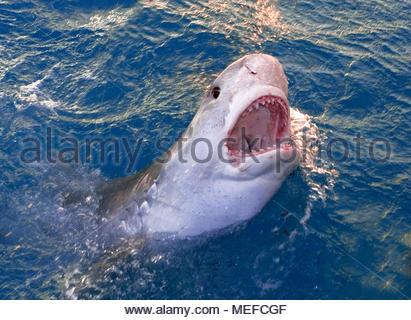 Tigerhai (Galeocerdo cuvier) an der Wasseroberfläche, Bahamas | Tiger shark (Galeocerdo cuvier) at surface, Bahamas - Stock Photo