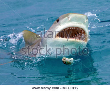 Tigerhai (Galeocerdo cuvier) an der Wasseroberfläche, Bahamas | Tiger shark (Galeocerdo cuvier) at surface, Bahamas - Stock Photo