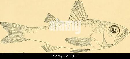 . Die Fische der Siboga-expedition . Fig. 52. Synagrops via/ayantis n. sp. X ^-S* - Stock Photo
