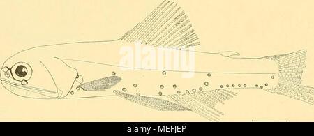 . Die Fische der Siboga-expedition . Fig. 31. Diaphus sitborbitalis n. sp. I.25 X- - Stock Photo