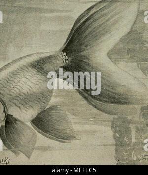 . Die exotischen zierfische in wort und bild . Carassius auratus var. oviformis Zernecke (Eierfisch). - Stock Photo
