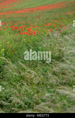 Poppies in a field of barley, South downs, UK - Stock Photo