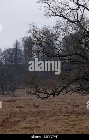 Three Bucks at Petworth on a wintery February afternoon. - Stock Photo