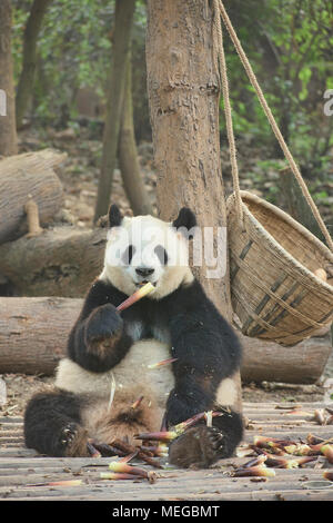 Giant panda eating bamboo at the Chengdu Research Base of Giant Panda Breeding in Chengdu, Sichuan, China - Stock Photo