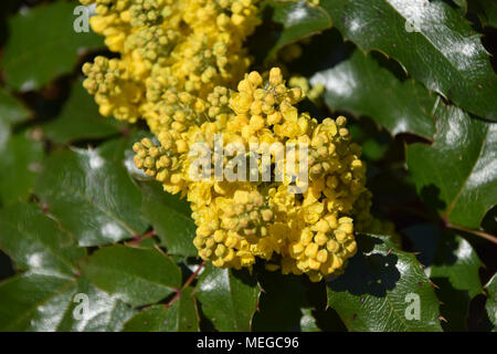 evergreen shrubs of mahonia with little yellow flowers - Stock Photo