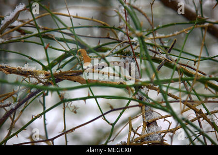 Wet snow on vines. Black Berry bushes and ivy covered with early snow, winter forest, fluff-stuff, branch, twig - Stock Photo