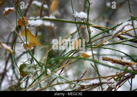 Black Berry in a subtropical deciduous forest in winter. snowfall, build up of snow, fluff-stuff - Stock Photo