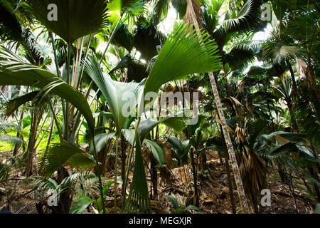Seychelles- Valle de Mai palm forest - Stock Photo