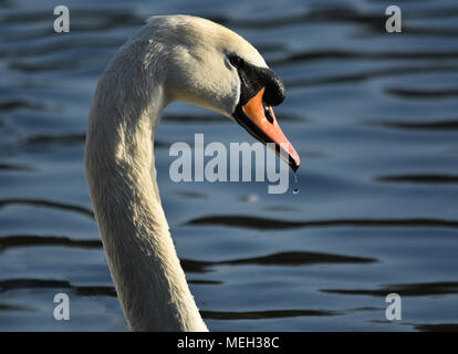White Swan Head and Neck - Stock Photo