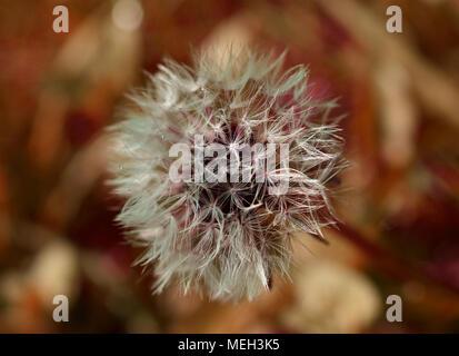 Dandelion clock seeds - Stock Photo