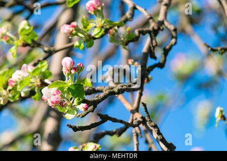 Głębowice, Poland. April 22, 2018. Apple tree during flowering. Spring sunny weather. Apple trees flourish in all their glory. Credit: w124merc / Alamy Live News - Stock Photo
