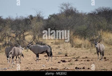 Oryx in Namibia - Stock Photo