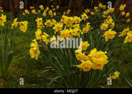 Daffodils growing in a park - Stock Photo