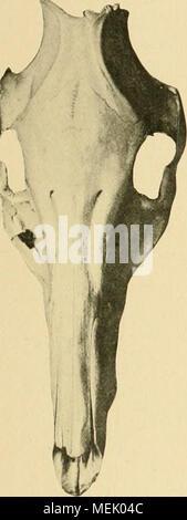 . Die Abstammung der ältesten Haustiere .. . - Stock Photo