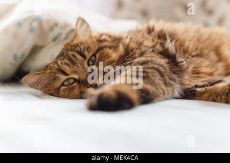 Ill cat lying with high temperature on the bed. - Stock Photo