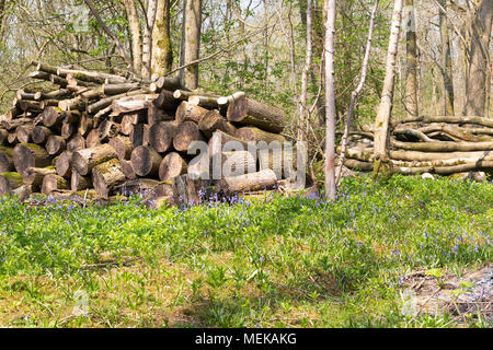 An image, taken on a spring morning, of a stack of logs surrounded by bluebells In Launde Big Wood, Leicestershire, England, Uk - Stock Photo