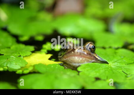 EUROPEAN COMMON FROG RANA TEMPORARIA - Stock Photo