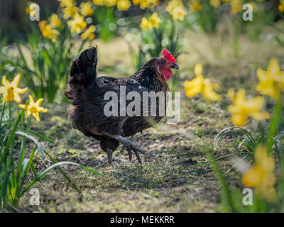 Chicken amongst spring flowering daffodils outside - Stock Photo