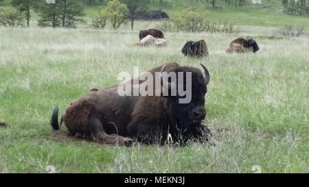 Buffalo in Custer State Park - Stock Photo