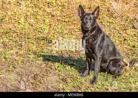 Portrait of a beautiful German Shepherd sitting on the grass. - Stock Photo