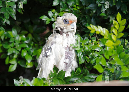 Little Corella, Cacatua sanguinea, with an advanced case of Psittacine Beak and Feather Disease, PBFD, or Avian Circovirus, showing the feather loss,  - Stock Photo