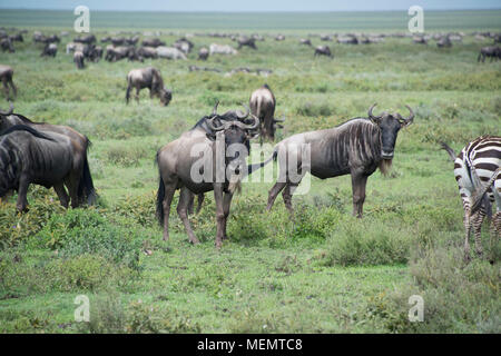 Wildebeests during great migration across the Serengeti of Africa - Stock Photo