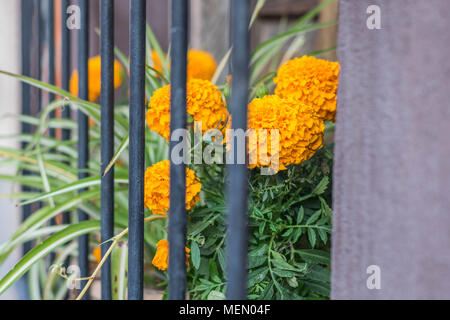 Isolated, close-up shot of orange marigolds and other greenery, growing in a window box, behind iron bars, in Mexico - Stock Photo
