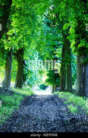Long way through chestnut trees, away through forest, tree trunk of the chestnut trees - Stock Photo