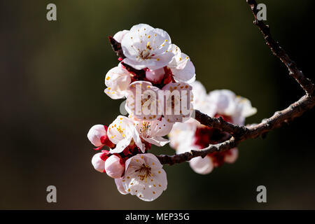 Japanese Cherry Blossoms, or Sakura, in full bloom on a beautiful spring day in Kanagawa, Japan. this small cluster is isolated for use in composites  - Stock Photo