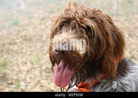 Portrait of wire-haired pointing griffon or Korthals - Stock Photo