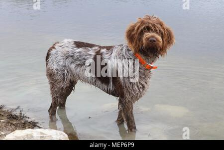 Wire-haired pointing griffon or Korthals standing in the water - Stock Photo