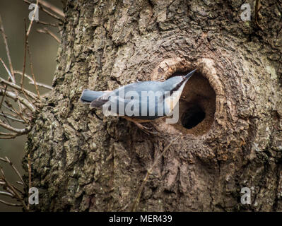 Nesting Red breasted nuthatch - Sittidae - Stock Photo