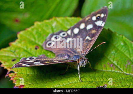 A Speckled Wood Butterfly. Found in and on the borders of woodland areas, this butterfly was found on vegetation above Scarborough's North Bay. - Stock Photo