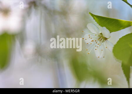 Close up of cherry blossoms in spring - Stock Photo