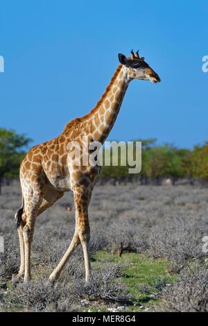 Namibian giraffe or Angolan giraffe (Giraffa camelopardalis angolensis), adult walking, Etosha National Park, Namibia, Africa - Stock Photo
