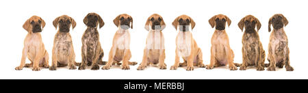 Litter of nine yellow and brindle great dane puppies sitting in a row isolated on a white background - Stock Photo