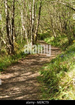 Woodland path through silver birch (Betula Pendula) trees, Leitir Fura, Kinloch Forest, Isle of Skye, Scotland, UK - Stock Photo