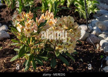 'Elsie Straver' Rhododendron, Parkrhododendron (Rhododendron catawbiense) - Stock Photo