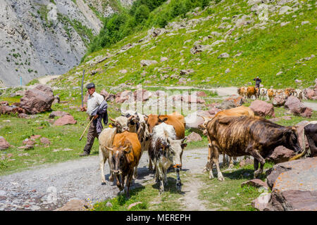 TRUSO VALLEY, GEORGIA - JULY 17: Shepherd guiding herd of cows in Truso valley. July 2017 - Stock Photo