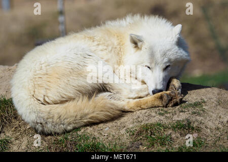 The Arctic wolf (Canis lupus arctos), also known as the Melville Island wolf. Wolf lying at rest. - Stock Photo