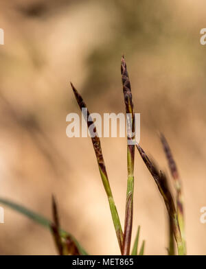 Fingered sedge or sormisara, Carex digitata. Woodland sedge - Stock Photo
