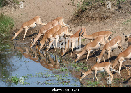 Herd of impalas (Aepyceros melampus) drinking at a waterhole, Kruger National Park, South Africa, Africa - Stock Photo