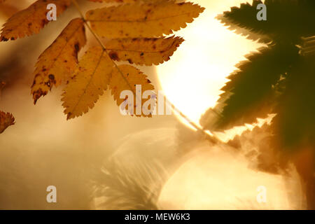 The serrated leaves of a mountain ash are lit by the bright autumn sun. A lake glitters in the background. - Stock Photo