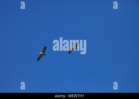 Common cranes (Grus grus) are soaring through the sky on a sunny day in spring. - Stock Photo