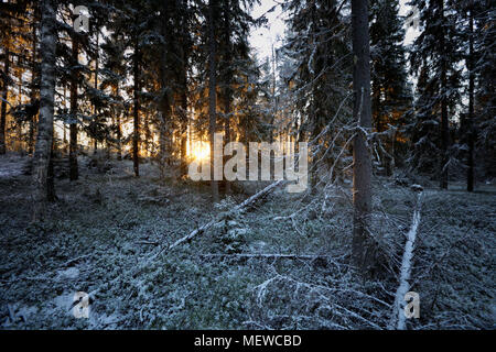 The low winter sun shines through frost covered trees in a wintry forest. - Stock Photo