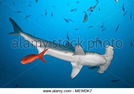 Scalloped hammerhead (Sphyrna lewini) and Pacific creole fishes (Paranthias colonus), Cocos Island, Costa Rica - Stock Photo