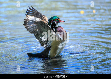 The wood duck or Carolina duck is a species of perching duck found in North America. It is one of the most colorful North American waterfowl. - Stock Photo